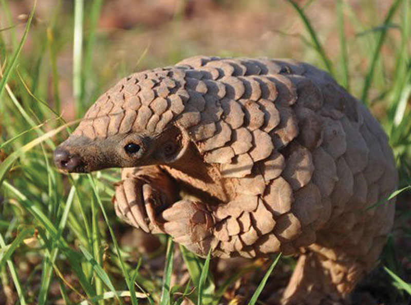The pangolin is prized by poachers who profit off this small creature.