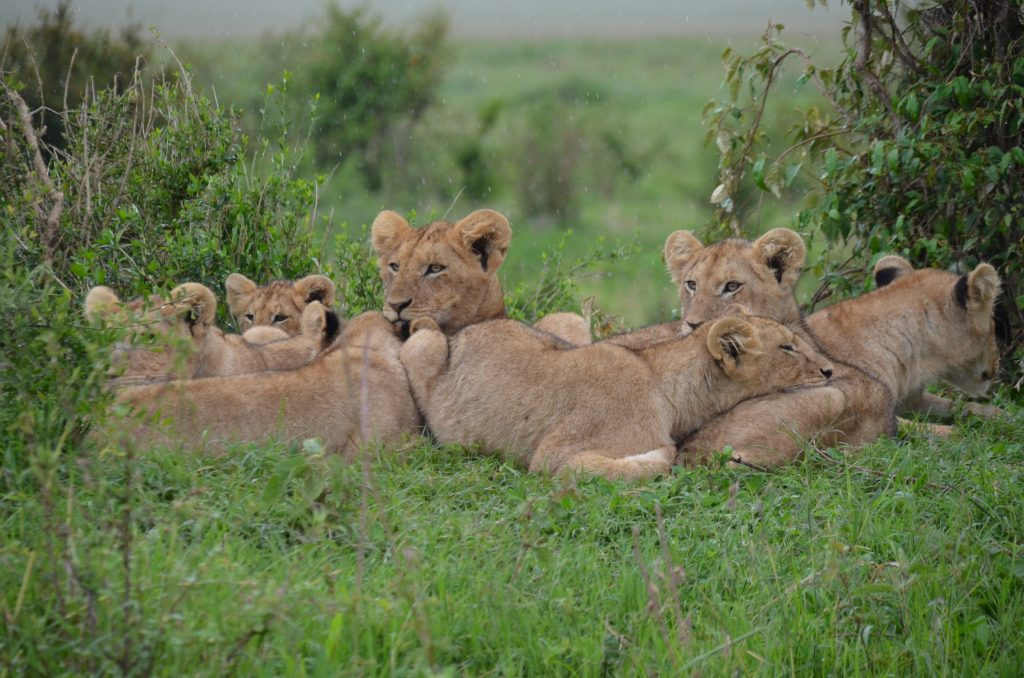 Morani Preserve is the best ecotourism and research destination in Kenya for seeing lions.